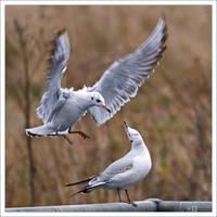 Attacking Gull by KeldBach