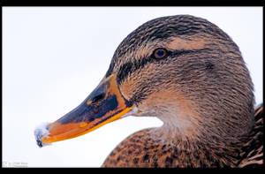 Winter Duck by KeldBach