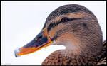 Winter Duck