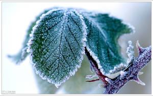 Frosty Leaves by KeldBach