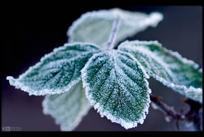 Frosty Bramble Leaves by KeldBach