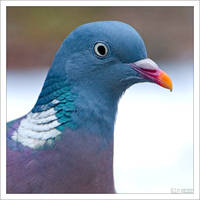 Pigeon Portrait by KeldBach