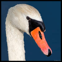 Swan Portrait by KeldBach