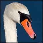 Swan Portrait by KeldBach