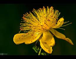 Yellow Hypericum by KeldBach