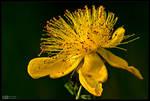Yellow Hypericum