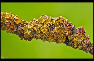 Lichen by KeldBach