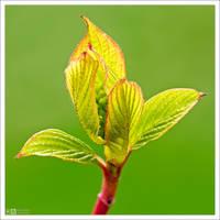 Sibirica Bud by KeldBach