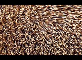 Hedgehog Spines by KeldBach