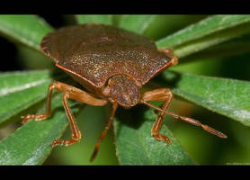 Brown Stink Bug by KeldBach