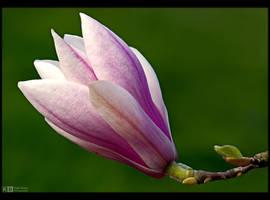 Magnolia by KeldBach