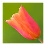 Pretty Tulip by KeldBach