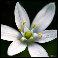 Star of Bethlehem by KeldBach