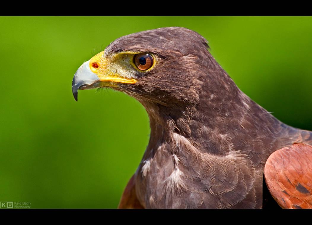 Harris' Hawk Profile by KeldBach