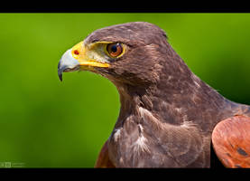 Harris' Hawk Profile by KeldBach