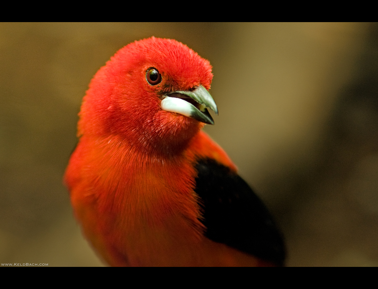 Brazilian Tanager by KeldBach