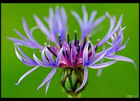 Cornflower by KeldBach