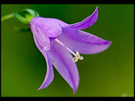 Spreading Bellflower Up Close by KeldBach