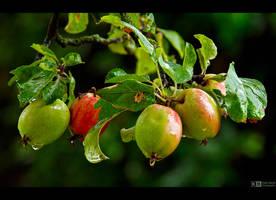 Wet Apples by KeldBach