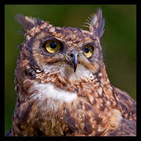 Owl Portrait by KeldBach