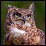Owl Portrait by KeldBach