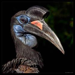 Ground-Hornbill Portrait by KeldBach