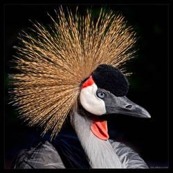 Grey Crowned Crane by KeldBach