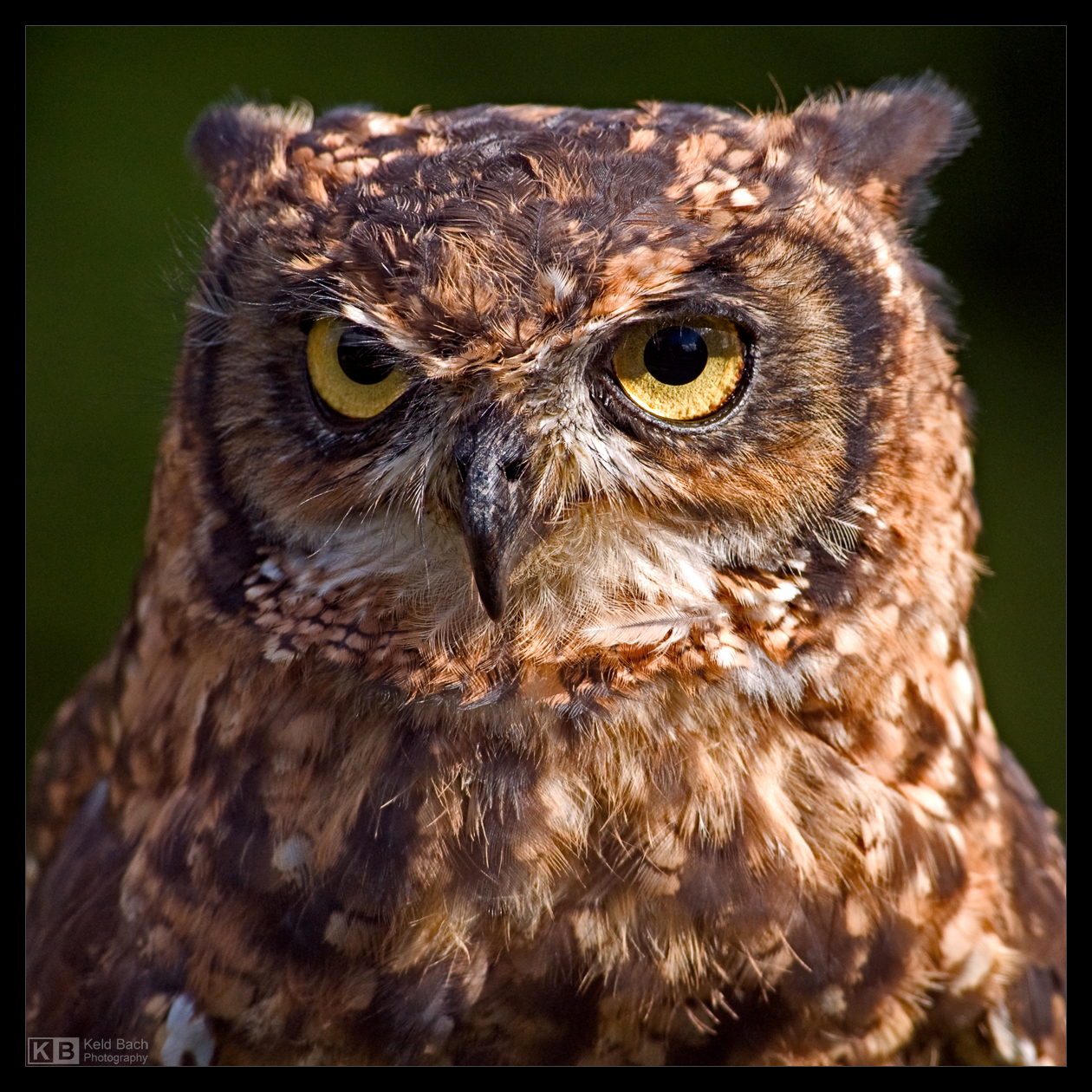 Eagle Owl Portrait by KeldBach
