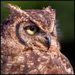Eagle Owl Profile