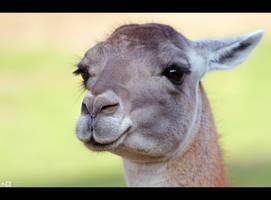 Lovely Llama by KeldBach
