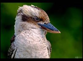 Kookaburra Portrait by KeldBach
