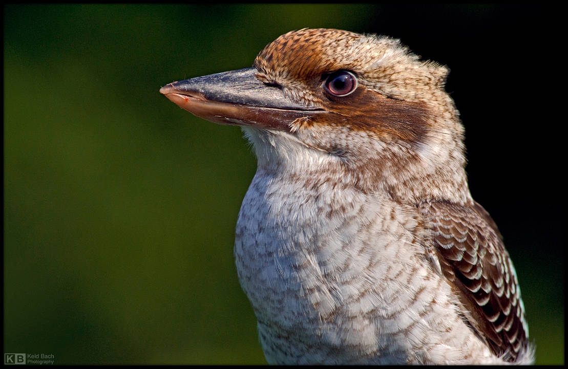 Kookaburra Profile by KeldBach