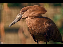 Hamerkop Profile by KeldBach