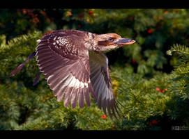 Kookaburra in Flight by KeldBach