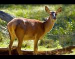 Red Deer Hind Alerted by KeldBach