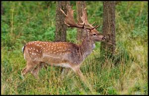 Fallow Deer by KeldBach