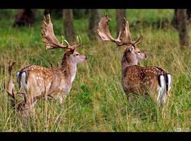 Pair of Fallow Deer by KeldBach