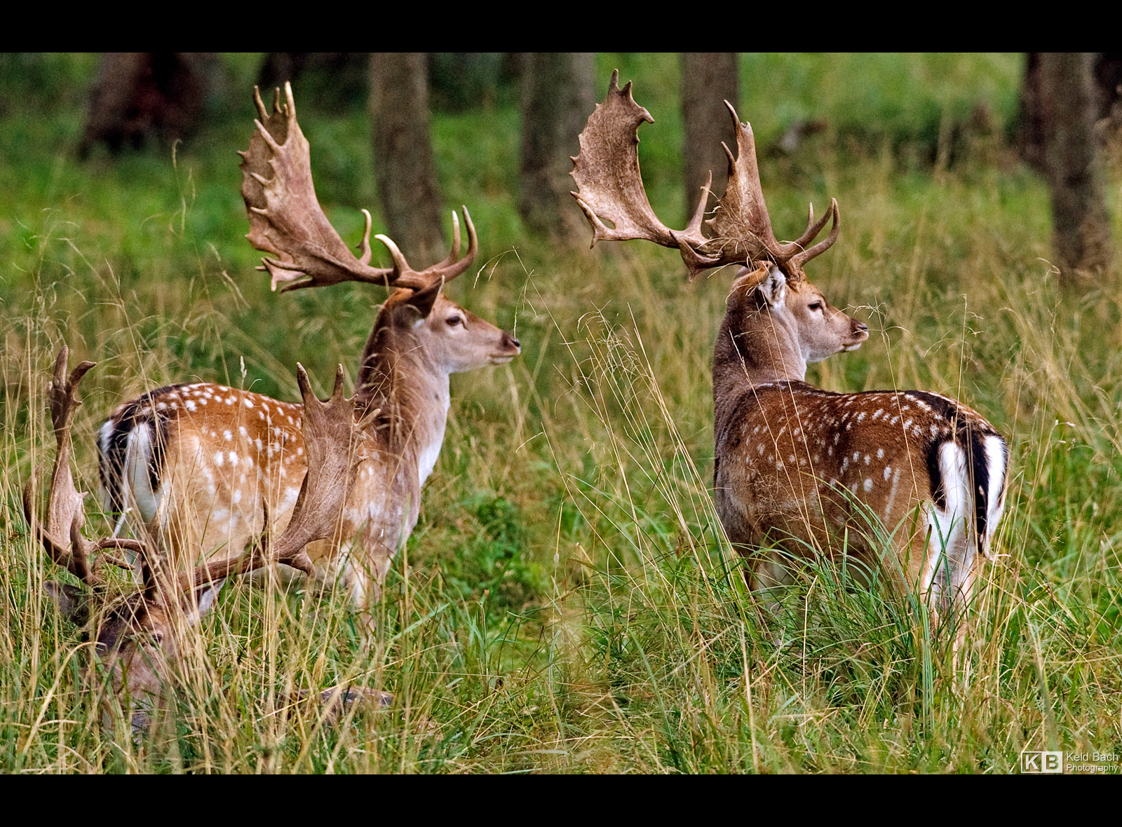 Pair of Fallow Deer by KeldBach