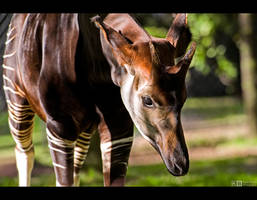Okapi by KeldBach