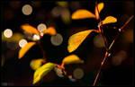 Golden Spirea by KeldBach