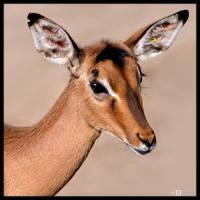 Female Impala Portrait by KeldBach