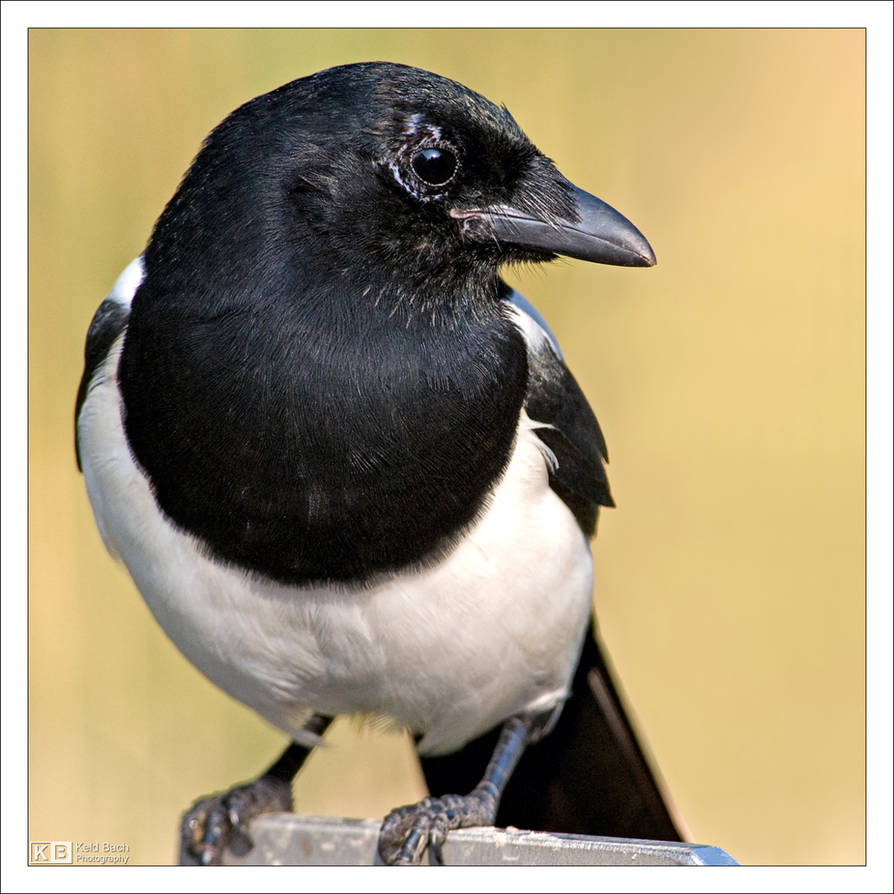 Mr. Magpie by KeldBach