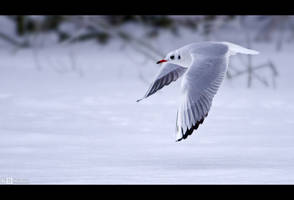 Winter Gull by KeldBach