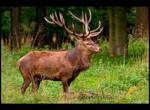 Red Deer Stag Posing by KeldBach