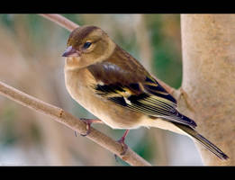 Lil' Birdie by KeldBach