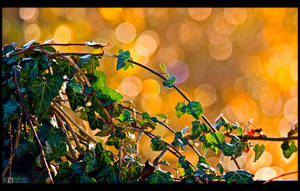 Backlit Ivy by KeldBach