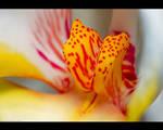 Orchid Calli by KeldBach