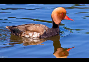 Red-Crested Pochard by KeldBach