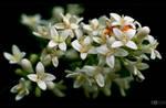Privet Blooms