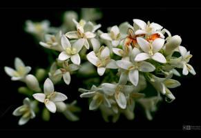 Privet Blooms by KeldBach